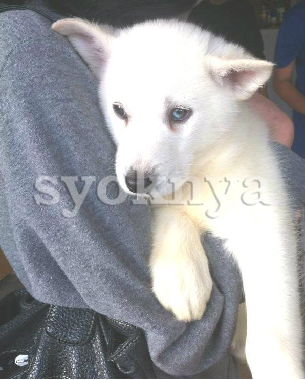 Sell Pure White Siberian Husky Puppies Ready Now